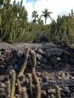 Cacti in landscape