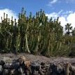 Triffid cacti weeds